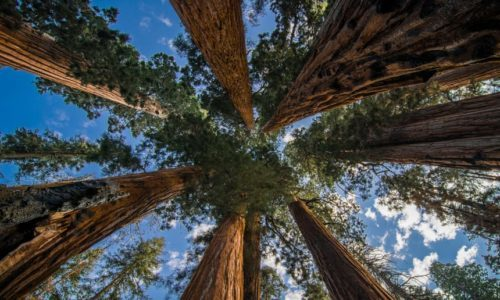 ↑ California Giant Sequoia alder grove. Photo: theguardian.com
